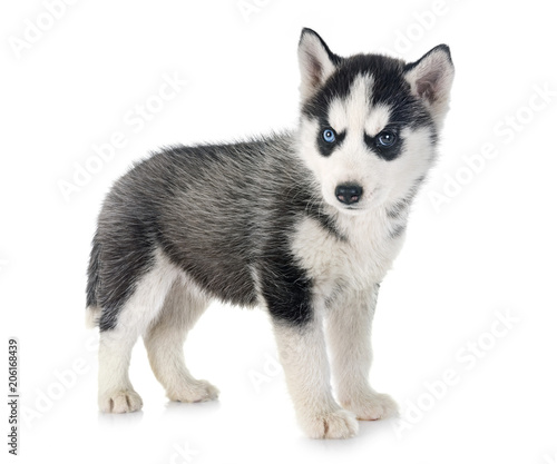 puppy siberian husky Canvas Print