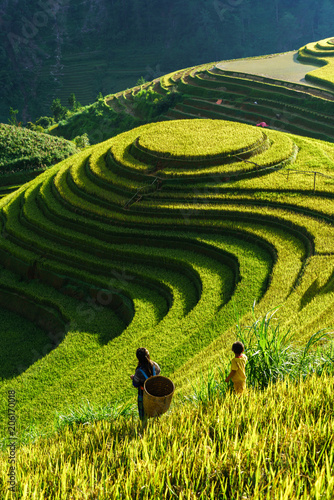 In de dag Rijstvelden Terraced rice field in harvest season in Mu Cang Chai, Vietnam. Mam Xoi popular travel destination.