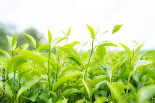Staande foto India Green tea leaves in a tea plantation in morning