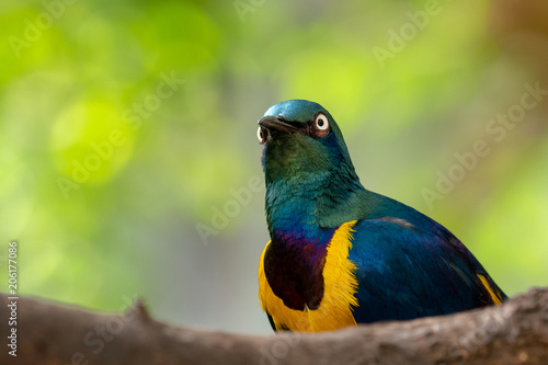 Golden-breasted Starling, Cosmopsarus regius, Glossy Starling sitting on the tree branch Wallpaper Mural