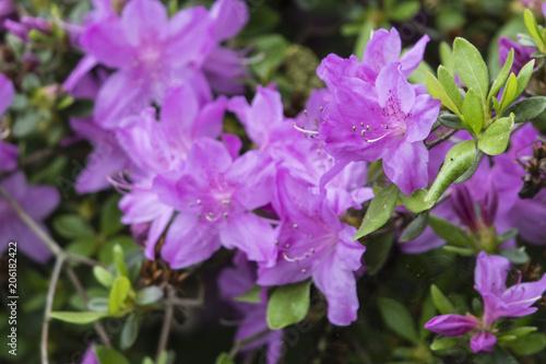 Papiers peints Azalea Purple azalea flowers on bushes.