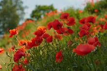 Red Poppy Flowers. Poppy Flowe...