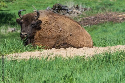 Staande foto Buffel Wisent in Neandertal
