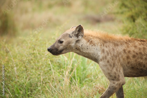 In de dag Hyena African Spotted Hyena on a South African Safari