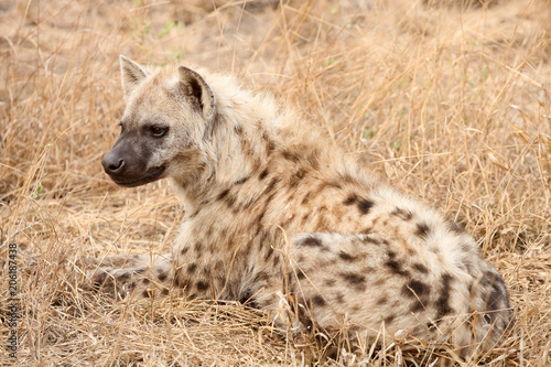 African Spotted Hyena on a South African Safari