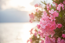 Beautiful Pink Oleander Flowers Are Blooming On Light Background Of Sea And Mountains At Sunset. Free Space For Text.