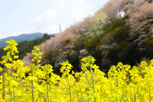 Deurstickers Geel 内子町の桜と菜の花畑