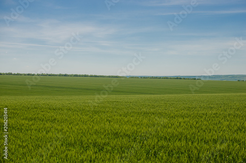 Aluminium Prints Landscapes Field of young green wheat with blue sky on background.