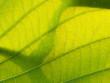 Texture and Shadow of Elephant Climber Leaf