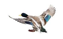 Landing Mallard Duck Drake On White