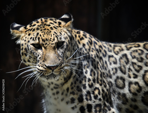 Spoed Foto op Canvas Luipaard leopardo