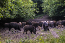 Feral Pigs, Sow And Piglets Ro...