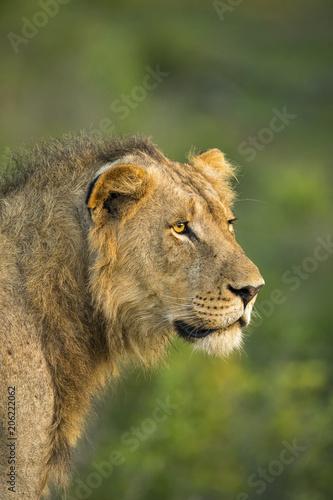Headshot of young male lion (Panthera leo), Sabi Sands Game Reserve, Mpumalanga, South Africa
