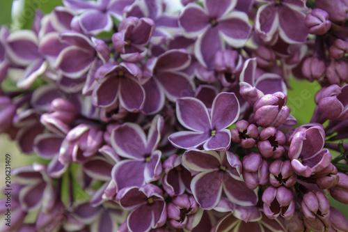 Foto op Canvas Lilac Purple lilac with white edges. 'Sensation' flower close up