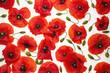Czerwone maki i plemniki (zielone pędy) na białym tle - tapeta, tło