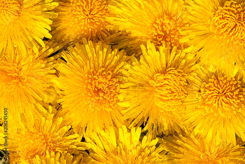 Closeup of the blooming yellow dandelion flowers #206245650