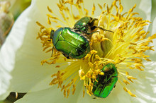 Green Rose Chafers In White Pe...