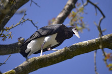 White-bellied Stork (Ciconia A...