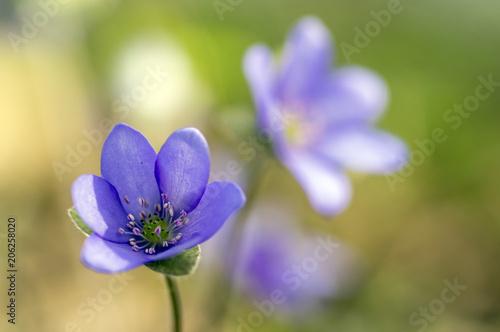Hepatica nobilis in bloom group of blue violet purple small flowers hepatica nobilis in bloom group of blue violet purple small flowers early spring wildflowers mightylinksfo