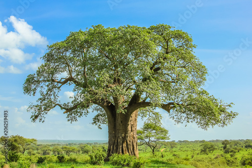 In de dag Baobab Baobab tree in Tarangire National Park in Tanzania. its enormous size. on blue sky.