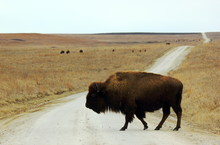 A Bison Is Roaming Freely At The Joseph H. Williams Tallgrass Prairie Preserve In Oklahoma. These Great Animals Live In The Largest (39,650 Acres) Protected Remnant Of Tallgrass Prairie Left On Earth.