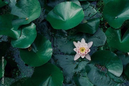 Poster  green natural background, leaves and pink water lily, empty copyspace, design pa