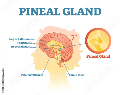 Valokuva  Pineal gland anatomical cross section vector illustration diagram with human brains