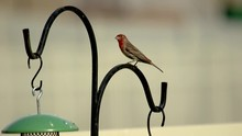 An Adult Male House Or Purple Finch Perched On A Post Very Alert Then Flies Away