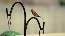 An Adult Male House Or Purple Finch Perched On A Post Very Alert Then Flies Away In Slow Motion