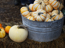 Autumn Harvest - Mini Pumpkins In A Galvanized Bucket