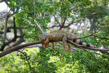 Iguana Sitting On Tree In Nature