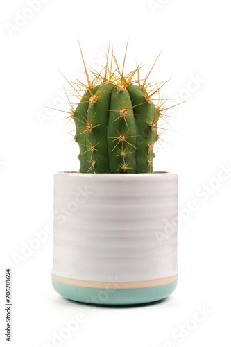 Fotografia  Small indoor cactus plant in white clay pot isolated on a white background