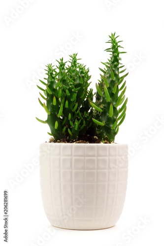 Stampa su Tela  Small indoor cactus plant in white clay pot isolated on a white background
