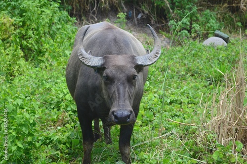 Staande foto Buffel Carabao, water buffalo in the nature of the Philippines.