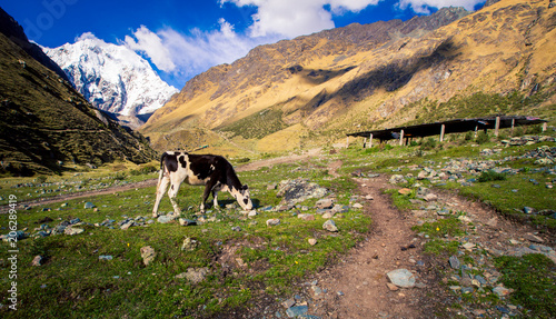 Foto op Plexiglas Zuid-Amerika land cow in the mountains of Cusco Peru
