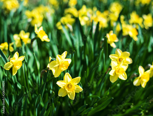 beautiful yellow daffodils narcissus Canvas Print