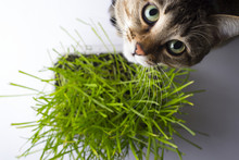 A Pet Cat Eating Fresh Grass, On A White Background. Cat Sniffing And Munching A Vase Of Fresh Catnip. Brown Pet Cat Eating Fresh Grass, Green Oats, Copy Space, The Concept Of The Health Pets.