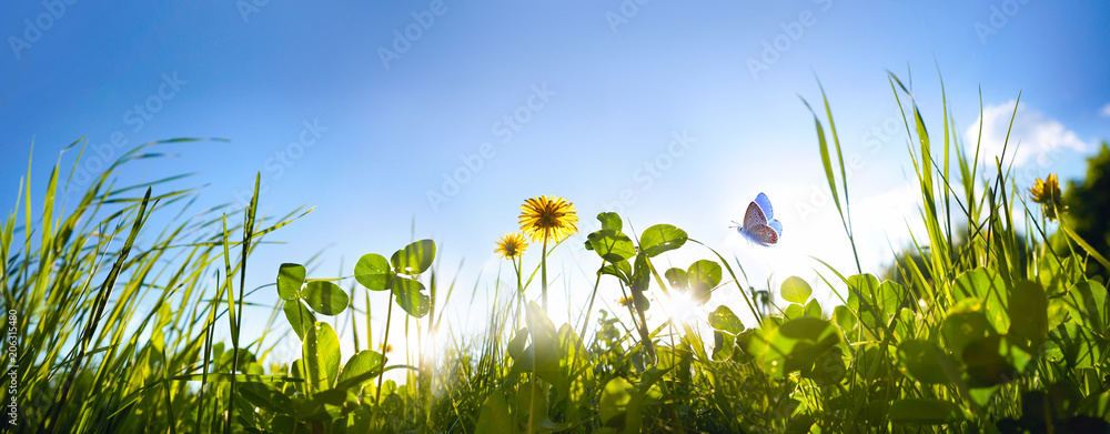 Fototapety, obrazy: Fresh green grass clover, dandelion flowers and flying butterfly against blue sky in summer morning at dawn sunrise in rays of sunlight in nature, macro, panoramic view, landscape, copy space.