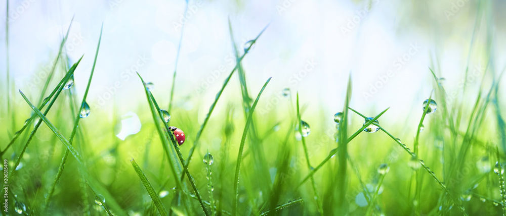 Fototapety, obrazy: Fresh juicy young grass in droplets of morning dew and a ladybug in summer spring on a nature macro. Drops of water on the grass, natural wallpaper, panoramic view, soft focus.