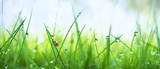 Fototapeta Kawa jest smaczna - Fresh juicy young grass in droplets of morning dew and a ladybug in summer spring on a nature macro. Drops of water on the grass, natural wallpaper, panoramic view, soft focus.
