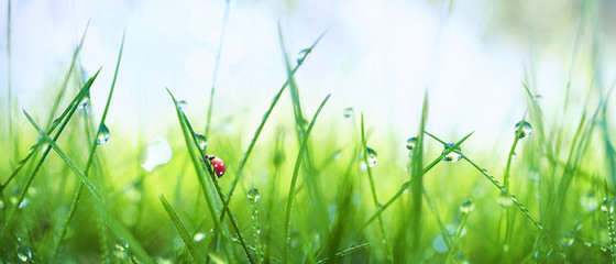 FototapetaFresh juicy young grass in droplets of morning dew and a ladybug in summer spring on a nature macro. Drops of water on the grass, natural wallpaper, panoramic view, soft focus.