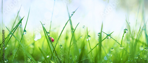 Obraz Fresh juicy young grass in droplets of morning dew and a ladybug in summer spring on a nature macro. Drops of water on the grass, natural wallpaper, panoramic view, soft focus. - fototapety do salonu