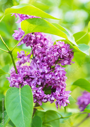 Foto op Canvas Lilac lilac flowers of lilac on a branch
