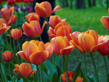 Orange Tulips In The Park
