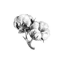 Hand Drawn Cotton Plant