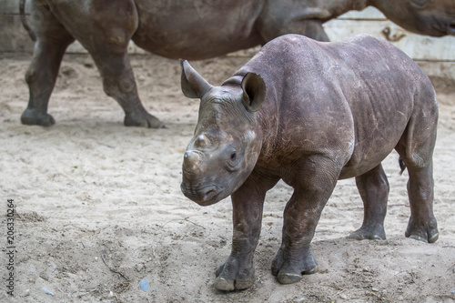 Naklejka premium Indian Baby Rhino in a Zoo, Berlin