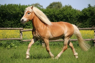 beautiful haflinger horse is runnign on a paddock in the sunshine