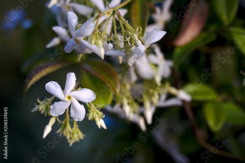 Fleur Jasmin Gros Plan Buy This Stock Photo And Explore Similar