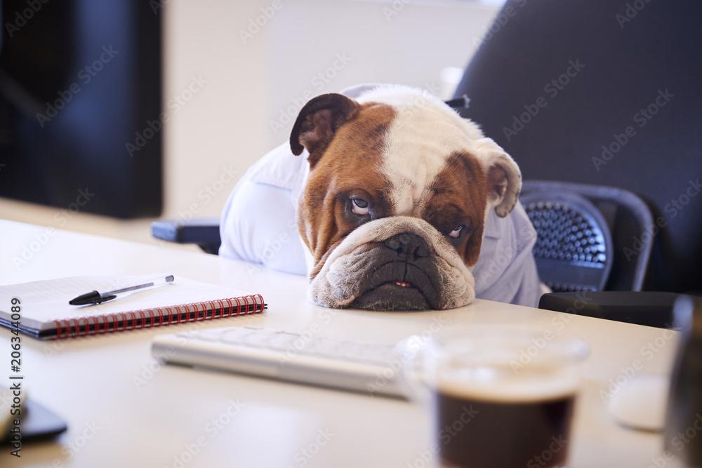 Fototapety, obrazy: British Bulldog Dressed As Businessman Looking Sad At Desk
