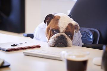 FototapetaBritish Bulldog Dressed As Businessman Looking Sad At Desk